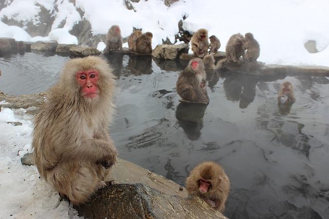 snow-monkeys-1394883_640.jpg
